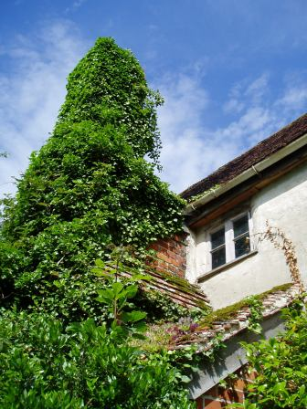The new chimney, covered in ivy, which we removed